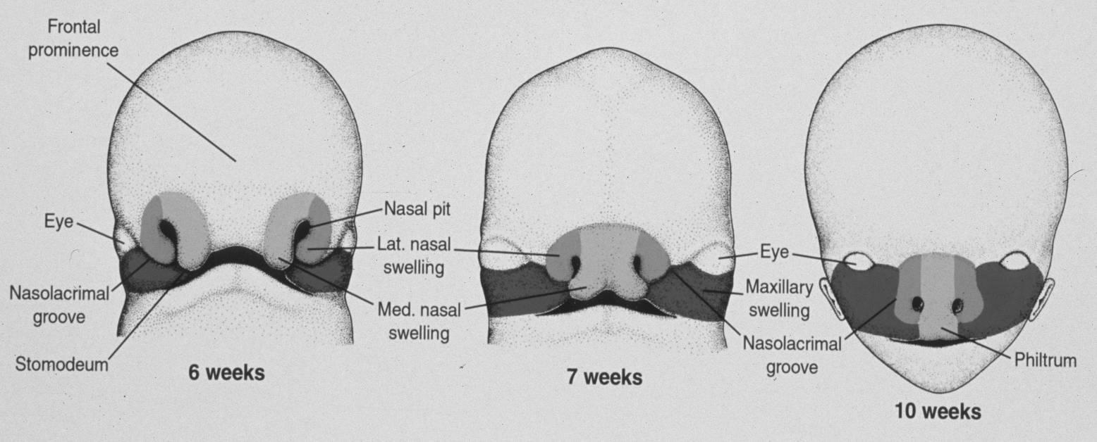 Ziemlich Nasale Columella Anatomie Fotos - Anatomie Von Menschlichen ...