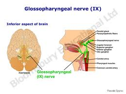 Pharyngeal branches of glossopharyngeal nerve
