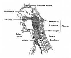 laryngomalacia diagram - photo #23