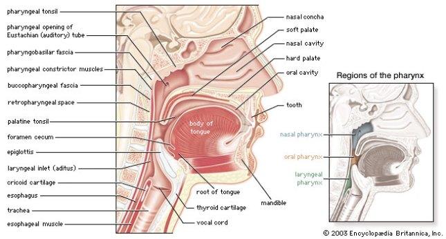 Pharynx Larynx 2 Dnbhelp